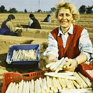 Woman Harvesting Asparagus in a Spargelfeld